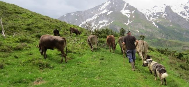 transhumance des vaches